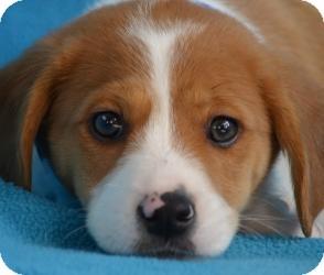 Minneapolis Mn Retriever Unknown Type Meet Presley A Pet For