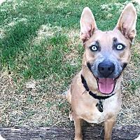 Adopt A Pet :: Crystal - Irving, TX