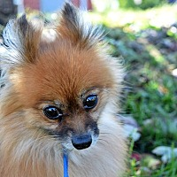 Adopt A Pet :: Abbey - Manassas, VA