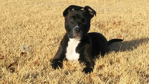 Wichita Falls Tx Pit Bull Terrier Meet Rocky Donner A Pet For Adoption