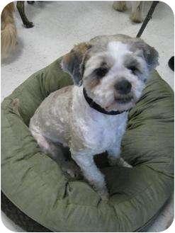 Saskatoon, SK - Shih Tzu  Meet Toby a Pet for Adoption