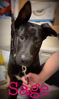 Adopt A Pet :: Sage  - Vass, NC