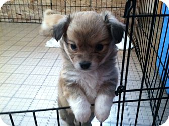 Dogs Puppies For Sale Com