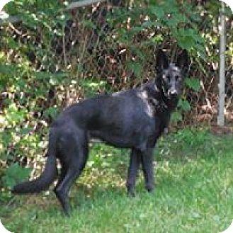 Dayton Oh Belgian Malinois Meet Deagan A Pet For Adoption