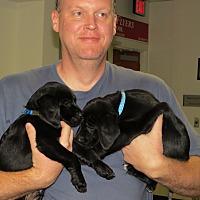 Adopt A Pet :: Setterador Puppy #4 - Wood Dale, IL