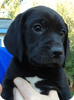 Richmond Va Beagle Meet Jethro A Pet For Adoption