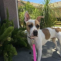 Adopt A Pet :: Shelby - Calimesa, CA