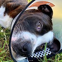 American Bulldog Puppies for Sale - Adoptapet com