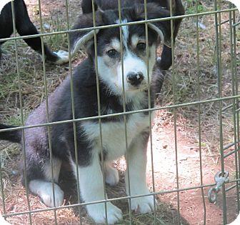 Allentown Pa Siberian Husky Meet Jessie A Pet For Adoption