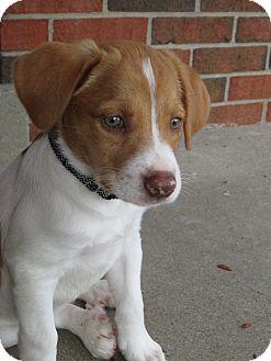 Cincinnati Oh Beagle Meet Auggie A Pet For Adoption