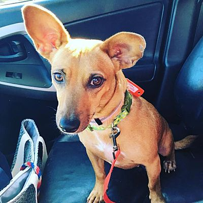 Champaign, IL - Dachshund  Meet Charley a Pet for Adoption