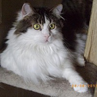 Domestic Longhair Cat for adoption in Montreal, Quebec - Alice-BL