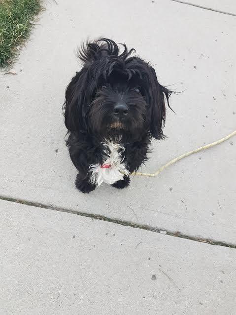 Saskatoon, SK - Bichon Frise  Meet Shadow a Pet for Adoption