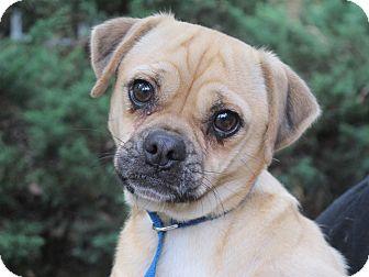 Ocala, FL - Pug  Meet Ellie a Pet for Adoption