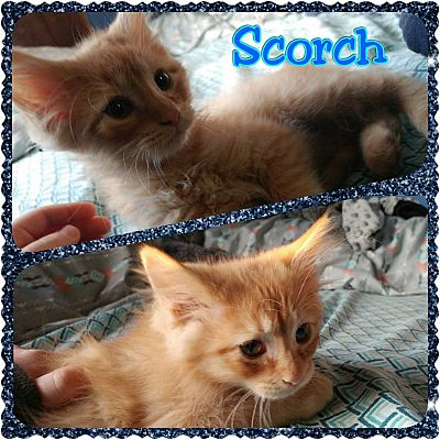 Joliet il american shorthair meet scorch a cat for adoption adopted solutioingenieria Image collections