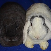 My Name Is Shade.Woburn Ma Mini Lop Meet Shade A Pet For Adoption