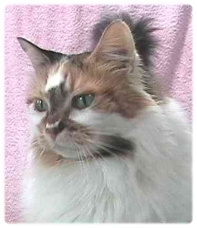 Domestic Longhair Cat for adoption in AUSTIN, Texas - Chloe