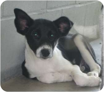 Border Collie/Cattle Dog Mix Dog for adoption in Florence, Indiana - Willow