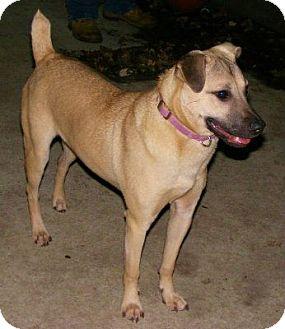 Beacon Ny Labrador Retriever Meet Gretchen A Pet For Adoption