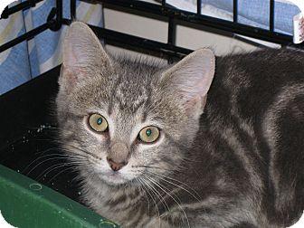 Domestic Shorthair Kitten for adoption in Fort Wayne, Indiana - Taz
