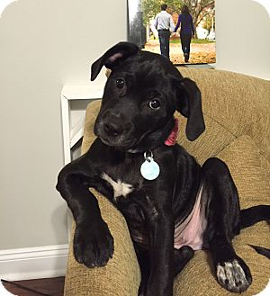 Labrador Retriever Mix Puppy for adoption in Knoxville, Tennessee - Molly