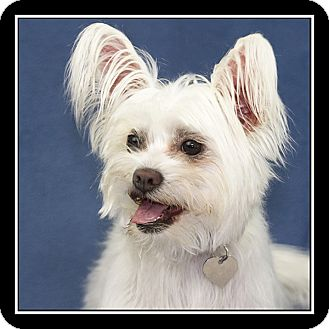 maltese rescue san diego san diego ca maltese meet mikey a dog for adoption 4997