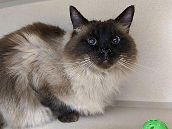 Adopt A Pet :: Katticus  - Laramie, WY