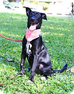 Labrador Retriever Mix Puppy for adoption in Castro Valley, California - Bessie