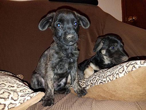 El Paso Tx Dachshund Meet Morrison A Pet For Adoption