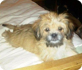 Tallahassee Fl Shih Tzu Meet Isabelle Adopted A Pet For Adoption