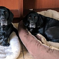 Labrador Retriever/Basset Hound Mix Dog for adoption in Pennsville, New Jersey - THELMA & LOUISE