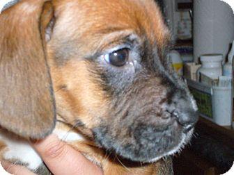 Brooklyn, NY - Rottweiler  Meet MISTER G a Pet for Adoption