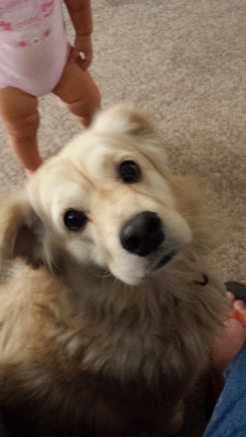 Tallahassee Fl Golden Retriever Meet Prancer A Pet For Adoption