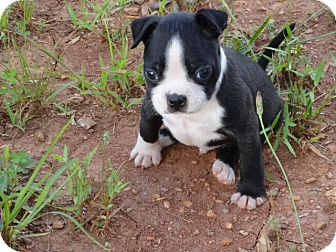 syacuse ny boston terrier meet bug a dog for adoption