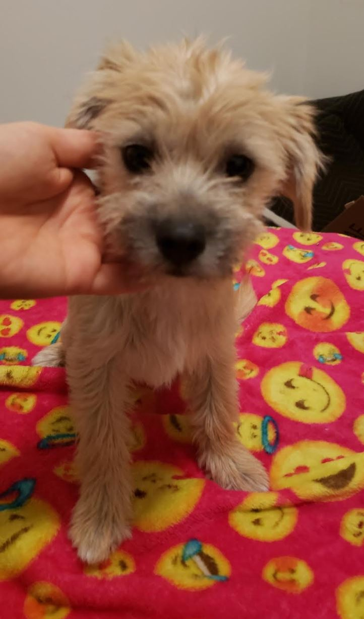 Denver Co Poodle Toy Or Tea Cup Meet Toffee A Pet For