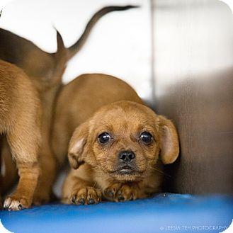 Marietta Ga Chihuahua Meet Small Breed Puppies A Pet For Adoption