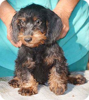 Staunton Va Dachshund Meet Carson A Pet For Adoption