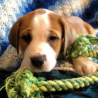 Adopt A Pet :: Amius  - Snow Hill, NC
