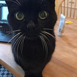 Siamese Kittens for Sale - Adoptapet com
