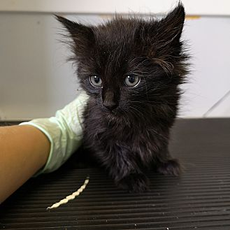 Adopt A Pet :: Obsidian  - Moose Jaw, SK