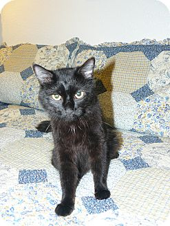 Domestic Mediumhair Cat for adoption in Island Park, New York - Angel