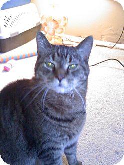 Domestic Shorthair Cat for adoption in Laguna Woods, California - Tiger