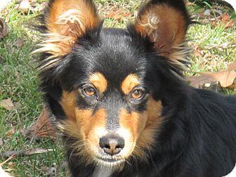 Sheltie, Shetland Sheepdog/Dachshund Mix Puppy for adoption in Spring Valley, New York - Candy