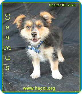 Plano Tx Yorkie Yorkshire Terrier Meet Seamus A Pet For Adoption