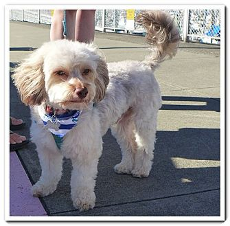 Seattle Wa Yorkie Yorkshire Terrier Meet Ollie A Pet For