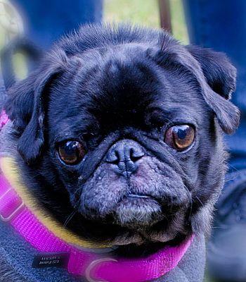 Seattle C O Kingston 98346 Washington State Wa Pug Meet Echo