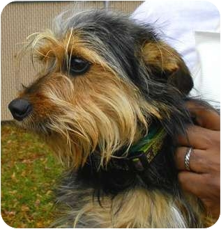 Lincolnton, NC - Yorkie, Yorkshire Terrier. Meet Sebastian a Dog ...