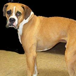 Boxer Puppies for Sale in Temecula California - Adoptapet com