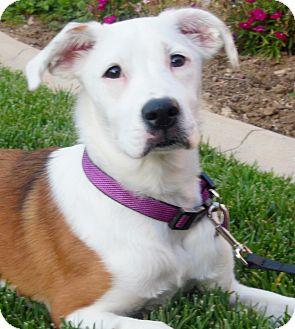 Mooresville Nc Australian Shepherd Meet Cheyenne A Pet For Adoption