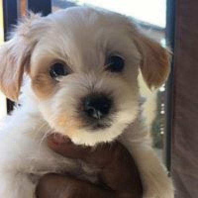 San Diego, CA - Havanese  Meet Cassie a Pet for Adoption